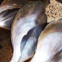 Penguin Oyster Shell | Polished Mother of Pearl Shells